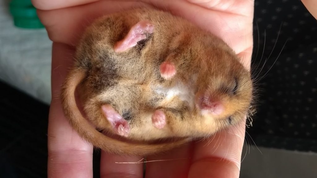 Dormouse survey